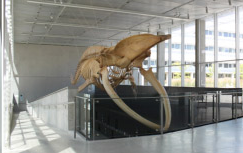 Blue whale skeleton at Beaty Biodiversity Museum